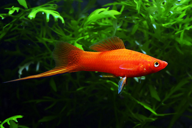 Tropical Platty Pictures | Exotic Tropical Ornamental Fish ...