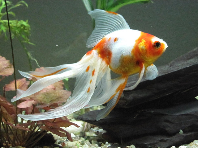Tropical Goldfish Types