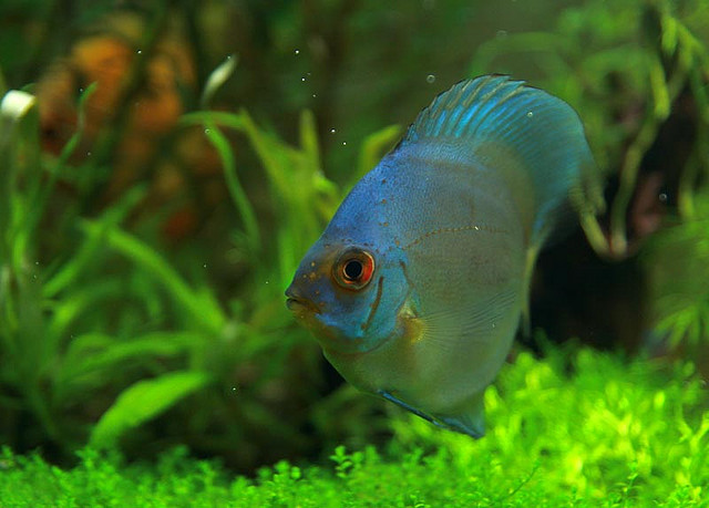 Discus Fish | Exotic Tropical Ornamental Fish Photos With Names | Fish