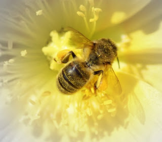 Think Bees.... Russian Honey Bees - photo#34