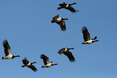 Tyto Tony Fancy Flight And Flight Of Fancy
