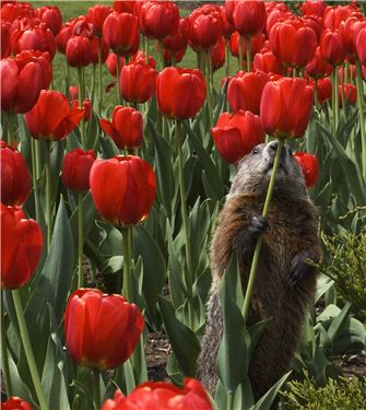 Groundhog Eating Tulips