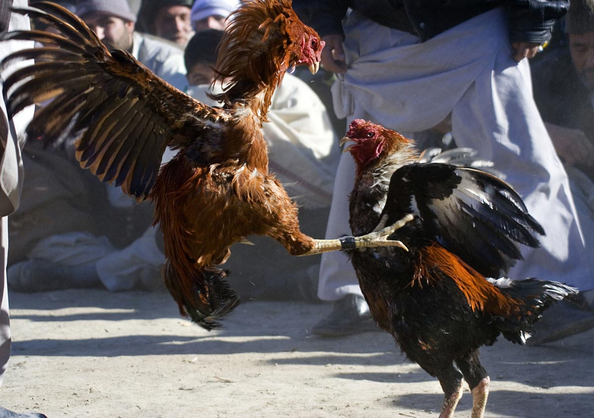 Cockfights in Afghanistan
