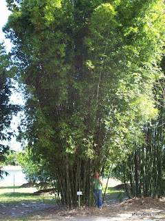 Beautiful Bamboo Photos Of Seabreeze Mid Size Timber