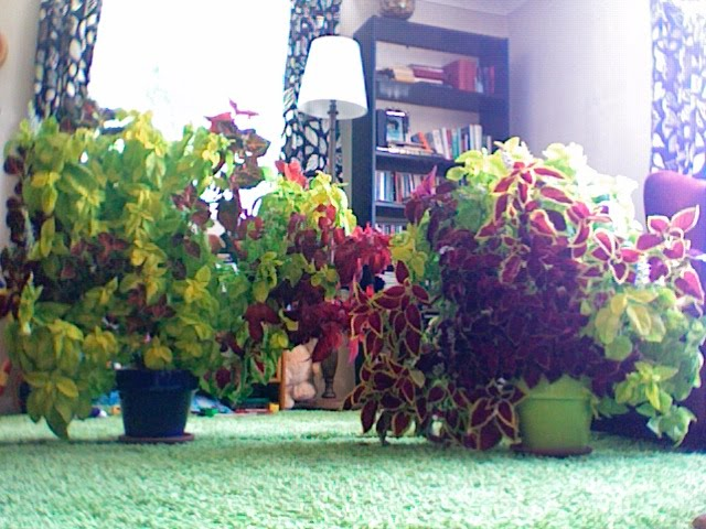 Coleus Houseplants Take Over My House