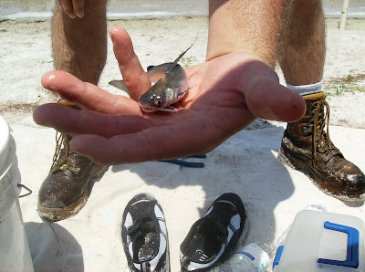 Saltwater Catfish, Florida east Coast Surf Fishing, Canaveral National Seashore, Cocoa Beach Pictures, smallest saltwater catfish