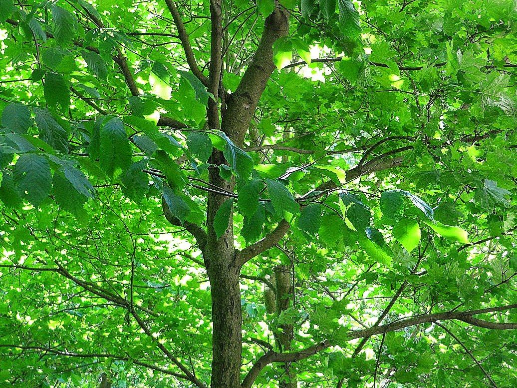 Jalava Puu