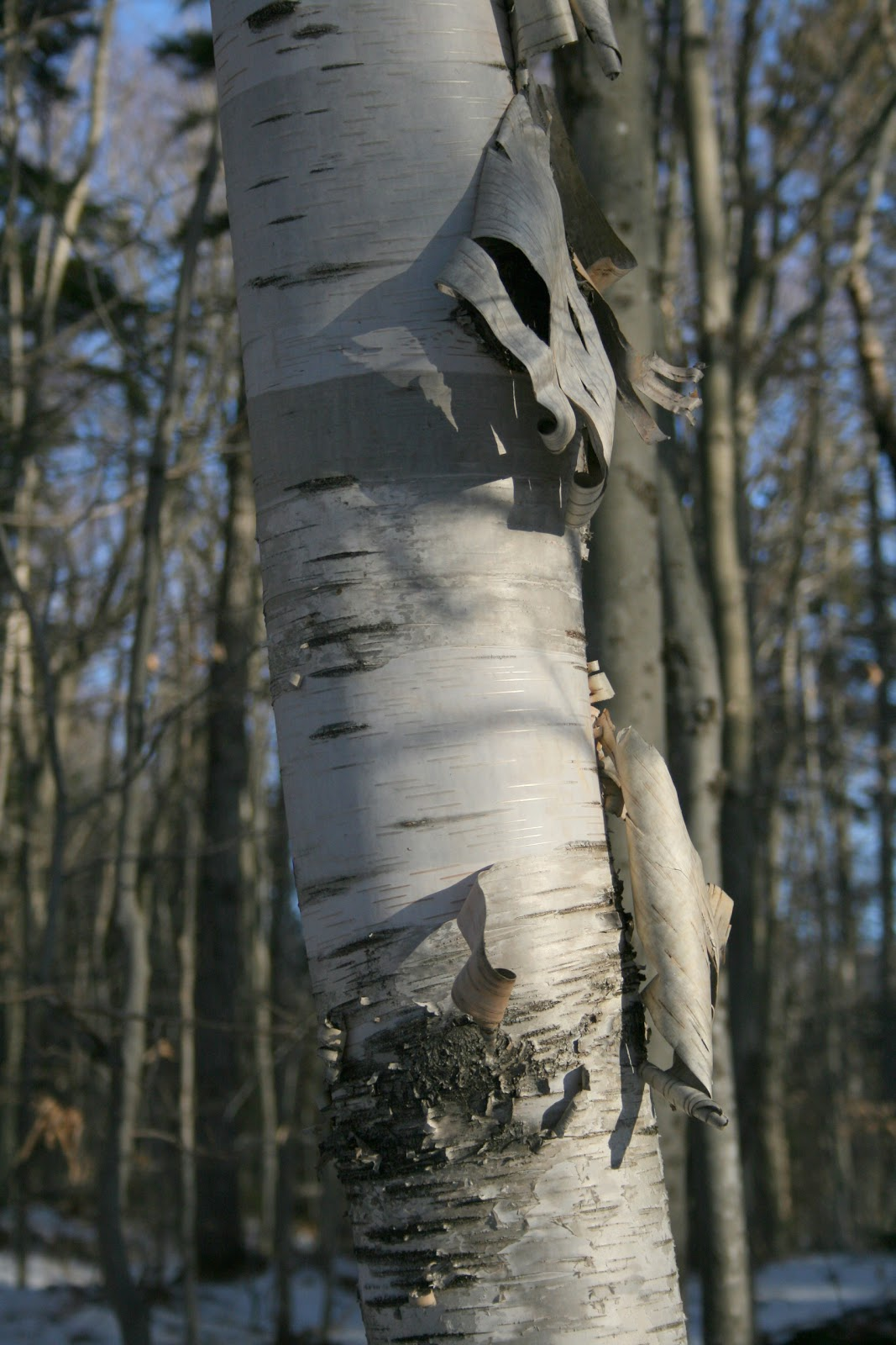 Spicebush Log Paper Birch