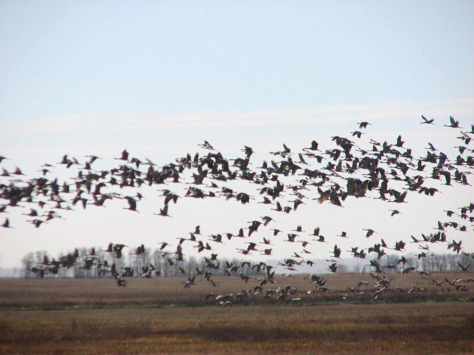 Still Life With Birder: More Sandhill Cranes - Saying Goodbye
