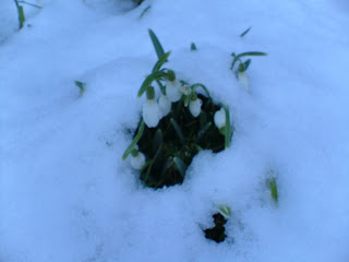 Snowdrops peek through a blanket of snow