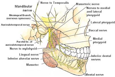 Cranial Nerves Trigeminal Nerve