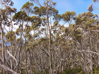 Tasmanian Snow Gums, Eucalyptus coccifera, Icehouse Track, Mt Wellington - 13th September 2008