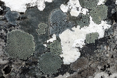 Lichen on dolerite, Mount Wellington - 30th October 2010