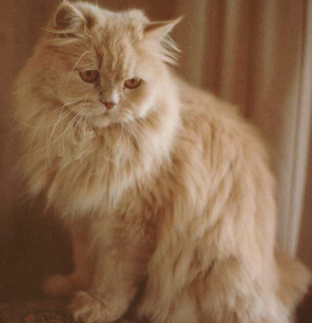 World Of Pet: Persian