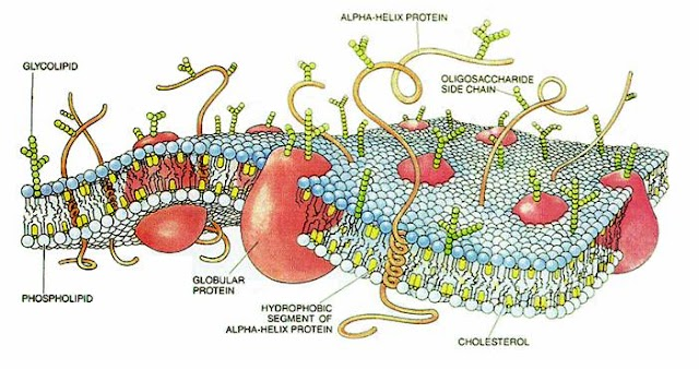 Plasma Membrane or Cell Membrane and its Function