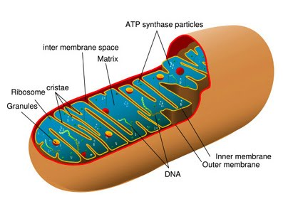 Mitochondria or Chondriosomes as Power House of Cell