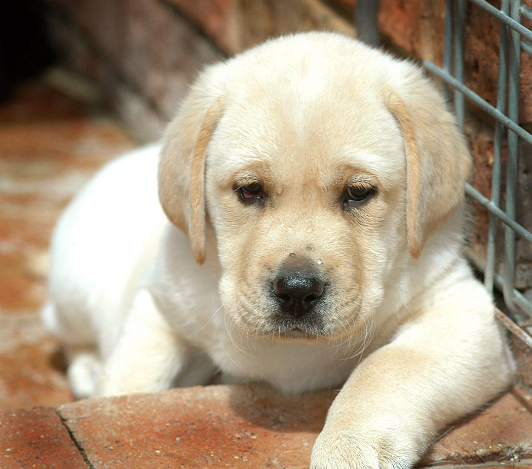 yellow lab dog - photo #34