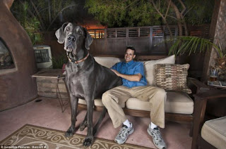 7ft long Blue Great Dane, the word's biggest dog