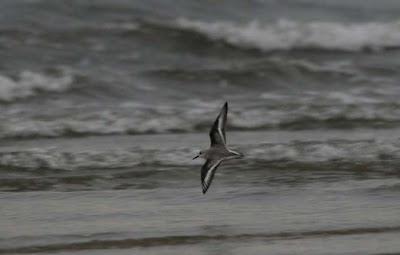 [sanderling.jpg]