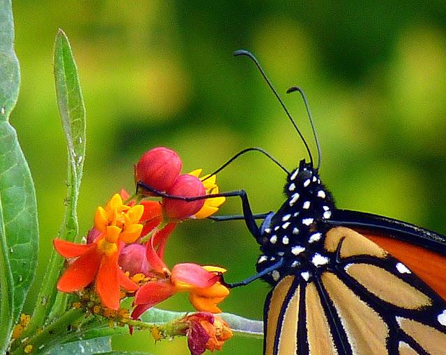 Monarch butterfly anatomy