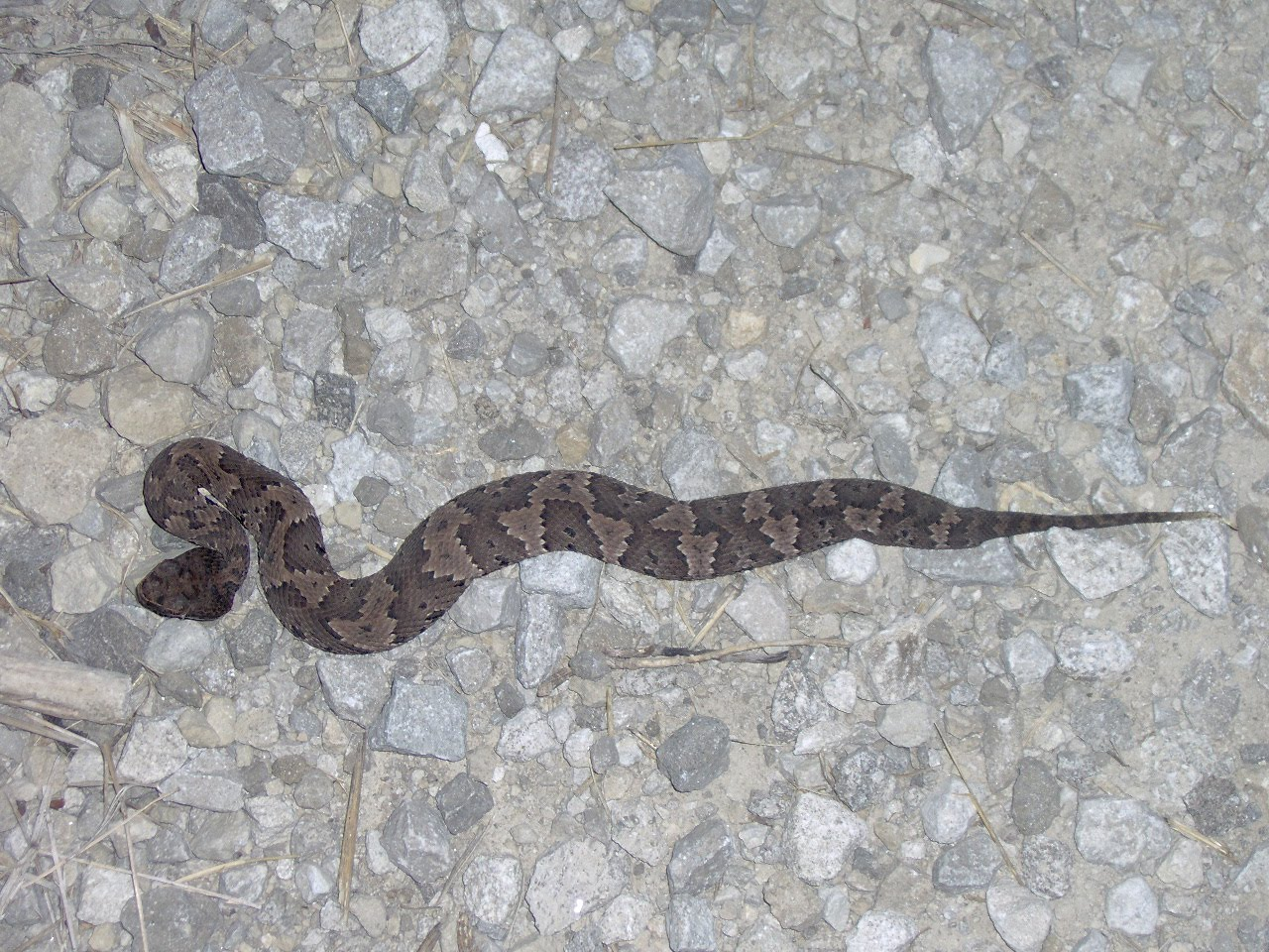 My Snakes: Baby Cottonmouth