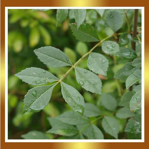 Gu a del plantabosques el fresno rbol de la vida for Tipos de arboles y sus caracteristicas