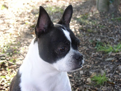 Beautiful White and black Boston Terrie dog outdoor
