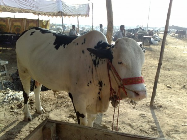 Animals Bakra, Cows For Eid Qurbani In Pakistan Photos ...   604 x 453 jpeg 66kB