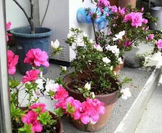 お店の前は、花が一杯咲き始めました。
