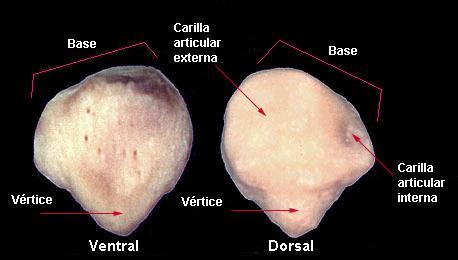huesos carillas articulares rotula
