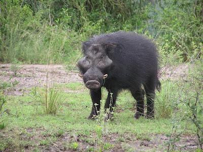 Porc mistret urias