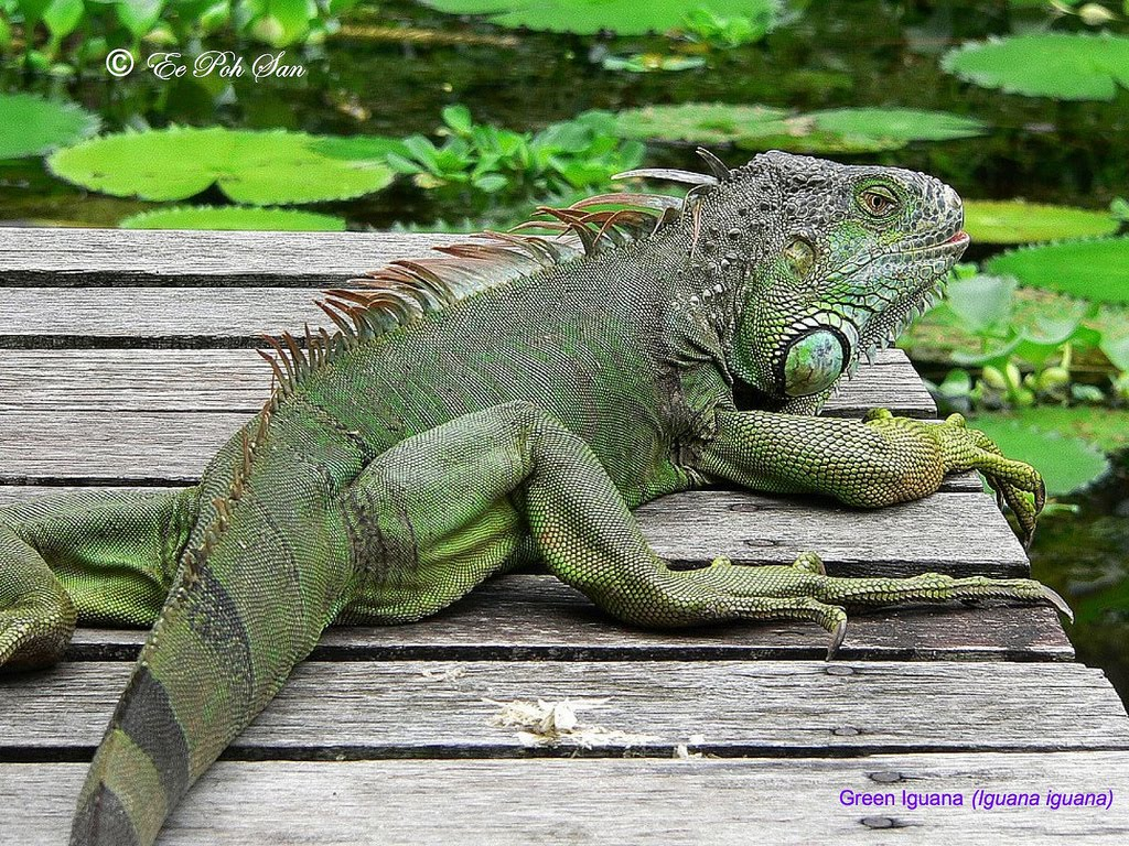 Komodo Dragon Vs Monitor Lizard | www.pixshark.com ...
