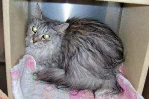 Tootsie, purebred Maine Coon at rescue facility waiting to be adopted by VG.