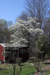 Dogwood over the studio