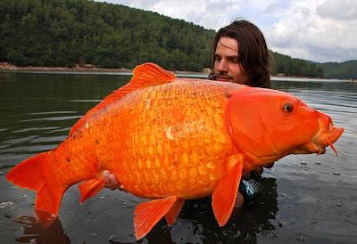 guldfisk.jpg