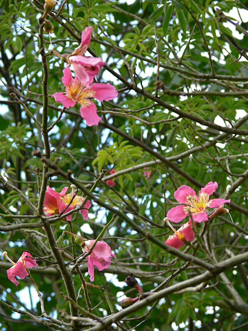 The last visible dog that prickly trunked tree the flowers are very pretty as you can see they look a lot like hibiscus or mallow flowers and not surprisingly are the same family mightylinksfo