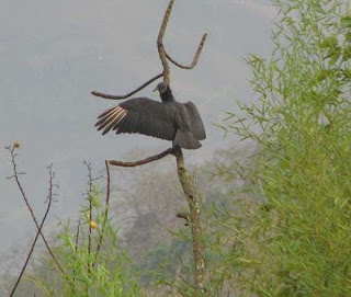 Black Vulture sunning in tree