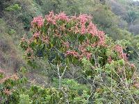 red flowering tree in Costa Rica
