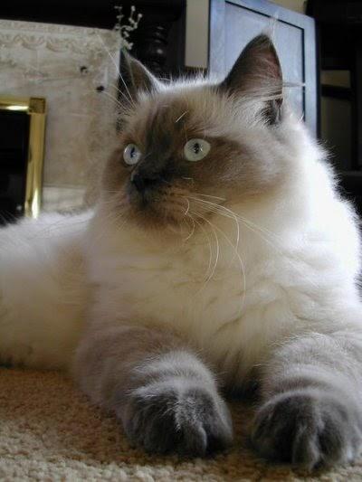 Best Cat Wallpapers Ragdoll Cat Wallpapers