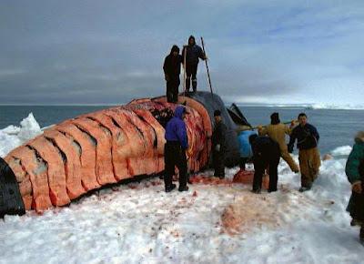 http://2.bp.blogspot.com/_ig4Mz3Ac464/TNy4BmLc4nI/AAAAAAAACBY/U57qpVeRzzk/s1600/Figure11.15_bowhead_whale_harvest_alaska.JPG