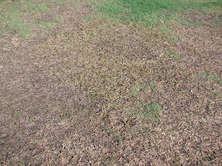 Monument Herbicide Has Been Used Probably For The First Time In Nt As A Control Option Sedges Carpet Gr And Annual Gres On Main
