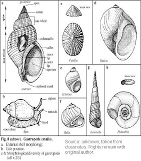 the lost geologist gastropod shell body and radula