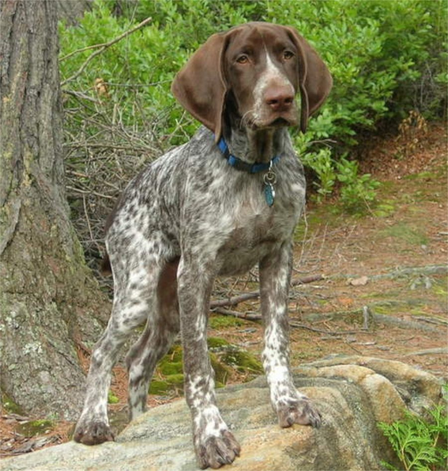 German Shorthaired Pointers And Puppies Chaz Hound Dog Forums