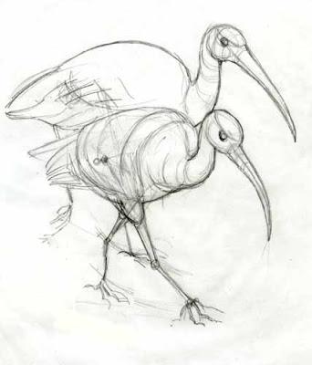 Ibis Drawing