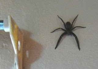 Very large spider on the wall