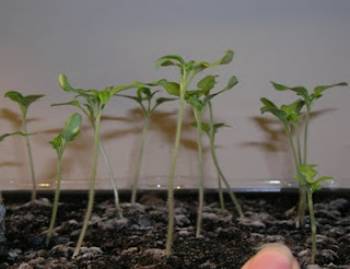 insektsæbe kan man spise planterne bagefter