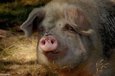 Trio cerdo de esta preciosidad de brunoymaria - 2 3