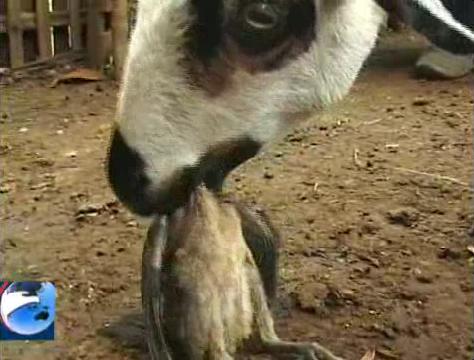 hewan aneh kambing makan ayamgambargambar aneh