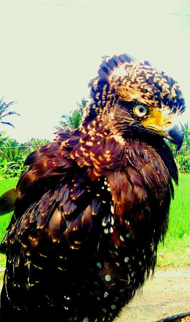 Burung Garuda Asli Gan   Gadag World and News
