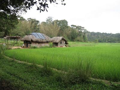Paddy Fields in Kuruva Island, Wayanad